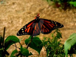 Monarch Butterfly 2/2 by NodokaVisualArts