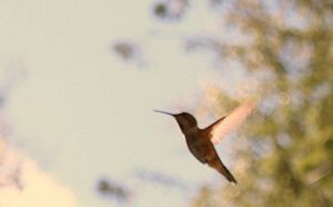 Humming bird crop by photography-love