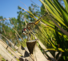 Lazy dragonfly in the evening by Fail-Avenger