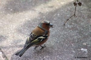 Chaffinch / Buchfink by bluesgrass