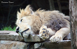 The lion sleeps tonight by CarianneCouture