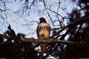 Perched Hawk by Joseph-W-Johns