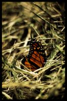 The Butterfly by edhall