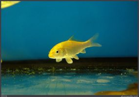 Fish Stock 0078 by phantompanther-stock