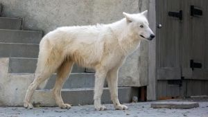 White Wolf by dogboy09
