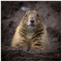 Marmot by DrDrum666