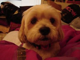 stinky the lhasa apso by snail-love