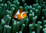 Nemo by LazyDugong