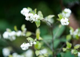 Snowberries by Swimming-Up-Currents