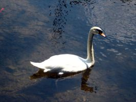 Swans 8 by Holly6669666