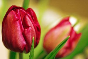 Red Tulips by kentguy07