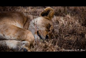 Lazy Lionnes by Solarstones