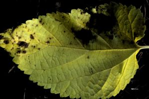 yellow leaf. by StillSouthern
