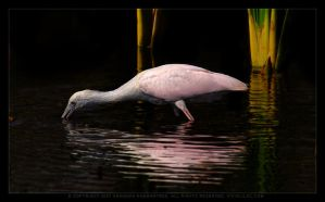 Roseate Spoonbill by vividlilac
