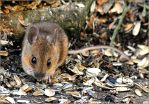 mouse 1 by brijome