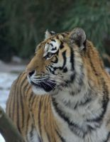 Siberian Tigress 2 by DaisyreeB