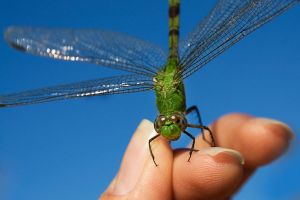 The Green Dragonfly 11 by lifeinedit