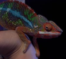 Chameleon by Ms-Silver