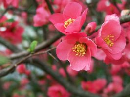 Spring Blossoms by AcceptedOutcast