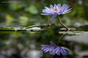 Lily Flower by mattTIDBALL