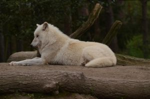 Arctic Wolf 22 by Lakela