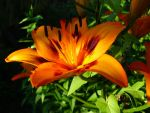 Lilium. by Stereobot