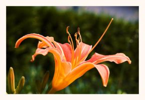 hemerocallis by darkrush