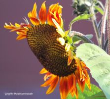 Sunflower by MorganeS-Photographe