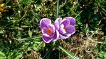 crocus twins by ErvinOgrasevic