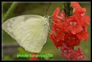 red flower yellow butterfly by kumarvijay1708