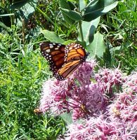 Monarch Butterfly 7 by Penny-Stock