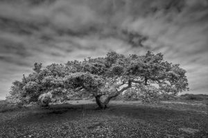 Costal Live Oak by ernieleo