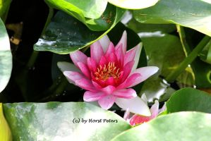 Seerose / Water Lily 3 by bluesgrass