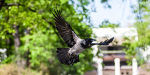 Hooded Crow InFlight by Akulatraxas