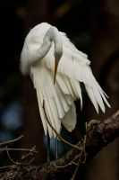 Egret in tree 4 by bovey-photo