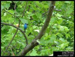 Indigo Bunting by Aideon