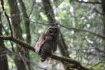 Old Growth - Spotted Owl 2 by BlackWolfDS