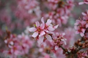 Cherry Blossoms by PeachyTwist