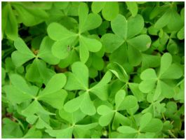Clovers 2 by shawn529
