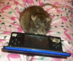 scabbers playing the ds 2 by purpledragonmaster