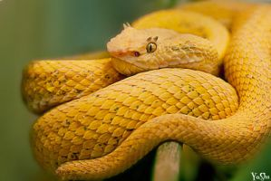 Eyelash viper by fastpinkelf