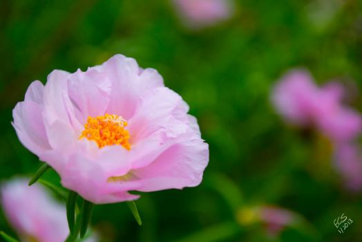 Delicately Pink by consine
