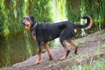 Harlequin Beauceron by Czertice