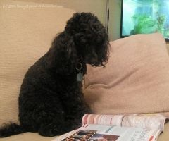 Toy Poodles really ARE smart by Jenny2-point-0