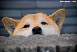 Akita Inu by dtownley1