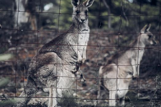 Kangaroos by apparate