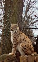 Bobcat in the Zoo by allison731