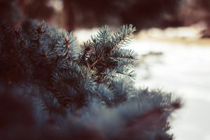 Winter spruce by AWanderingDryad