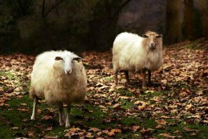 A life of sheeps II... by ChristineAmat