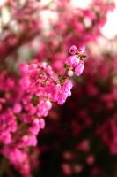Pink heather. by LupineDream